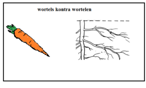 wortel_gramatyka_nauka_niderlandzkiego_lekcja_holenderskiego